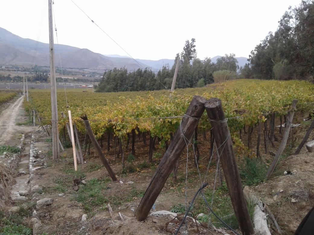 Vigne de la Pisquera Aba dans la vallée del elqui au chili