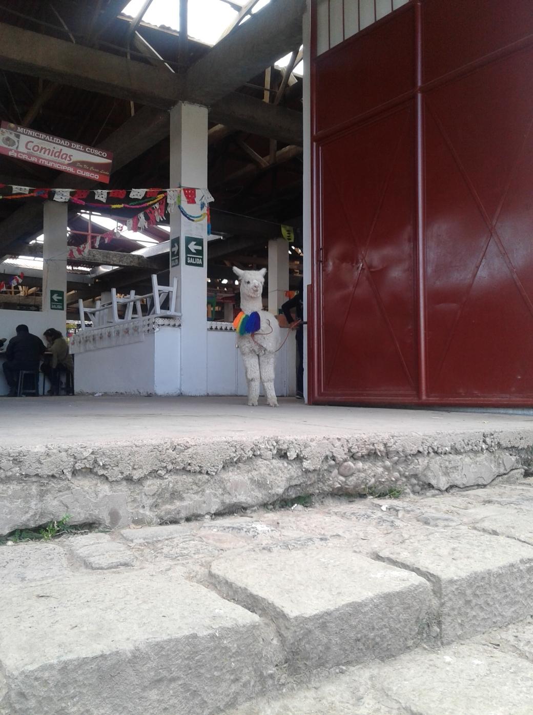 Lama à l'entrée du marcado de San Blas à Cuzco
