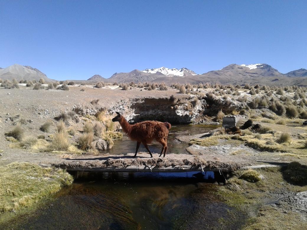 Lama traversant un rio à Sajama en Bolivie