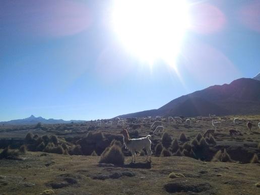 Lamas à Sajama en Bolivie